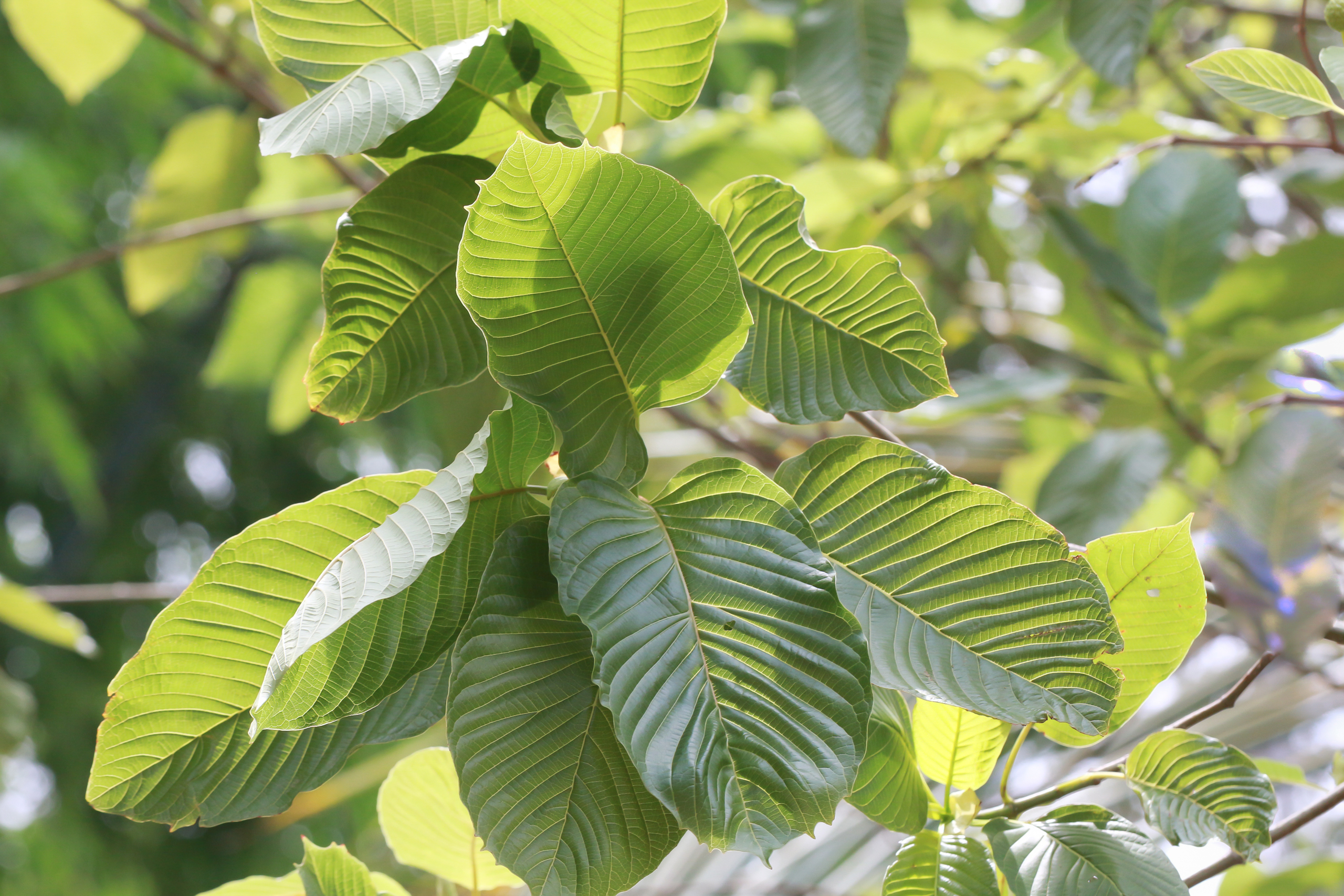 Finest Points Concerning Kratom For Discomfort